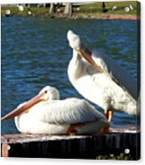 American White Pelican 001 Acrylic Print