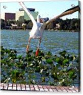 American White Pelican 007 Acrylic Print