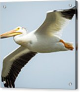 American White Pelican Flyby  Acrylic Print