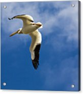 American White Pelican In Flight Acrylic Print