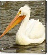 American White Pelican Acrylic Print