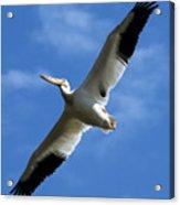 American White Pelican Wings Acrylic Print