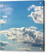 American White Pelicans Flying Acrylic Print