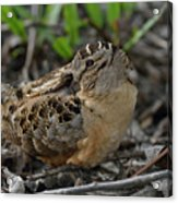 American Woodcock At Rest Acrylic Print