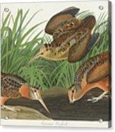 American Woodcock Acrylic Print