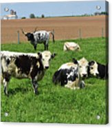 Amish Farm With Spotted Cows And Cattle In A Field Acrylic Print