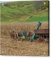 Amish Harvest In Ohio  Acrylic Print