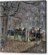 Amish Horses In Harness Acrylic Print