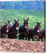 Amish Plowing The Fields With Mules Acrylic Print
