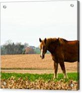 Amish Work Horse Acrylic Print