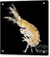 Amphipod Crustacean, Lm Acrylic Print