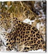 Amur Leopard In A Snowy Forrest Acrylic Print