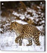 Amur Leopard Walks In A Snowy Forest Acrylic Print