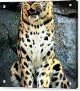 Amur Lepard I Hear Something Acrylic Print