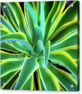 An Agave In Color  Acrylic Print