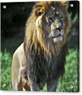 An Alert, Majestic Lion With An Acrylic Print by Jason Edwards