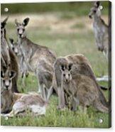 An Alert Mob Of Eastern Grey Kangaroos Acrylic Print