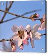 An Almond Tree Blooming Acrylic Print