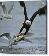 An American Bald Eagle Grabs A Fish Acrylic Print