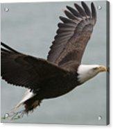 An American Bald Eagle Soaring Acrylic Print