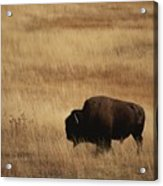 An American Bision In Golden Grassland Acrylic Print