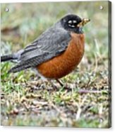 An American Robin With Muddy Beak Acrylic Print