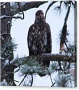 An Eagle Gazing Through Snowfall Acrylic Print