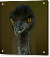 An Emu At The Lincoln Childrens Zoo Acrylic Print