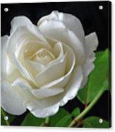 An English Rose Acrylic Print