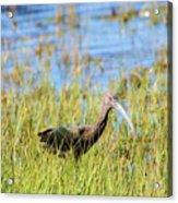 An Ibis In The Grass Acrylic Print
