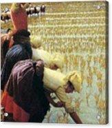 An Italian Rice Field Acrylic Print