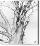 An Oak In The Park 2002  Acrylic Print