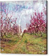 An Orchard In Blossom In The Golan Heights Acrylic Print
