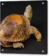 An Ornate Box Turtle With A Fiberglass Acrylic Print