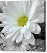 An Outstanding Daisy Acrylic Print