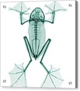 An X-ray Of A Flying Frog Acrylic Print