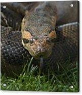 Anaconda Acrylic Print