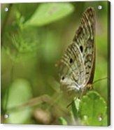 Anartia Butterfly In Wonderland  Acrylic Print