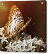 Anartia Jatrophae - White Peacock Butterfly  Acrylic Print