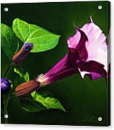 Anastacias Datura Acrylic Print
