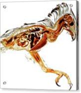 Anatomical Plastination Specimen Of A Honey Buzzard Acrylic Print