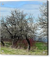 Ancient Apples Budding Out Acrylic Print