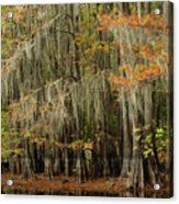 Ancient Cypress Forest Acrylic Print