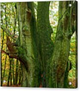 Ancient German Oak Trees In Sababurg Acrylic Print