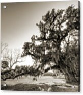 Ancient Live Oak Tree Acrylic Print