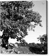 Ancient Oak, Bradgate Park Acrylic Print by John Edwards