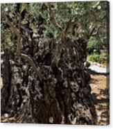 Ancient Olive Tree Acrylic Print
