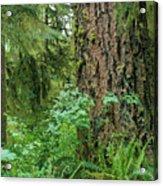 Ancient Trees Acrylic Print