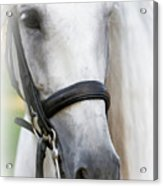 Andalusian Portrait Acrylic Print