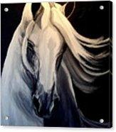 Andalusian Stallion Acrylic Print
